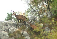 divokoza-nacionalniparktara