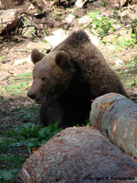 mrki-medved-planinatara